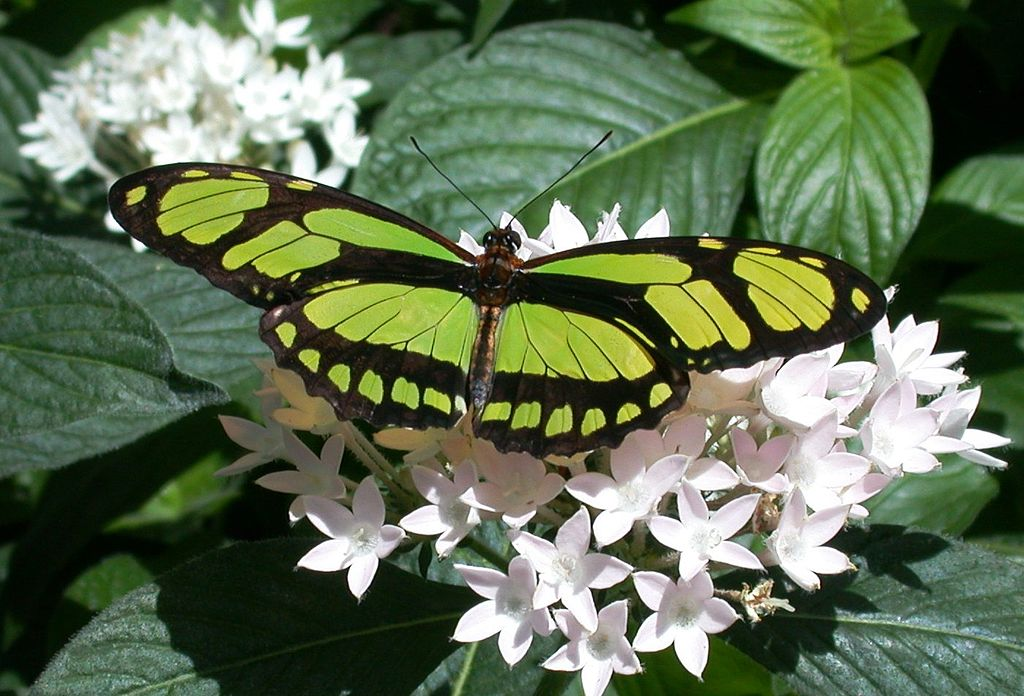 Philaethria dido - dido longwing green   colored butterfly species