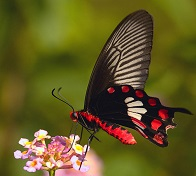 red butterfly on rose flowers