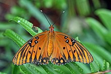 Agraulis vanillae - gulf fritillary - passion butterfly - orange colored butterfly species