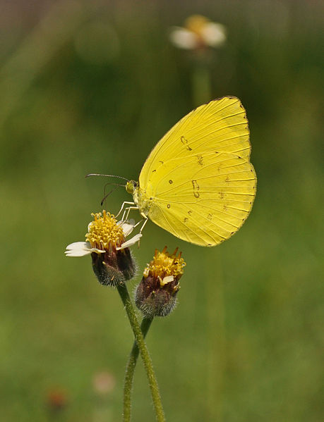 Eurema Yellow - tridax procum - yellow colored butterfly species