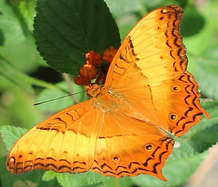 Vindula arsinoe Vindula erota - cruiser butterfly - orange colored butterfly species