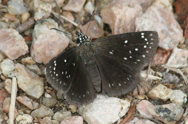Pholisora catullus -  common sootywing - roadside rambler - black colored butterfly species