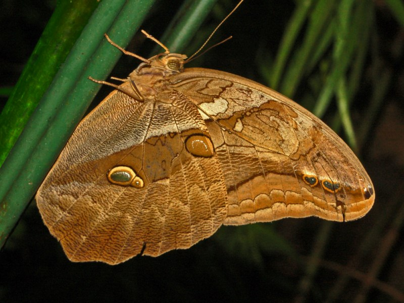Eryphanis automedon - automedon giant owl - brown colored butterfly species