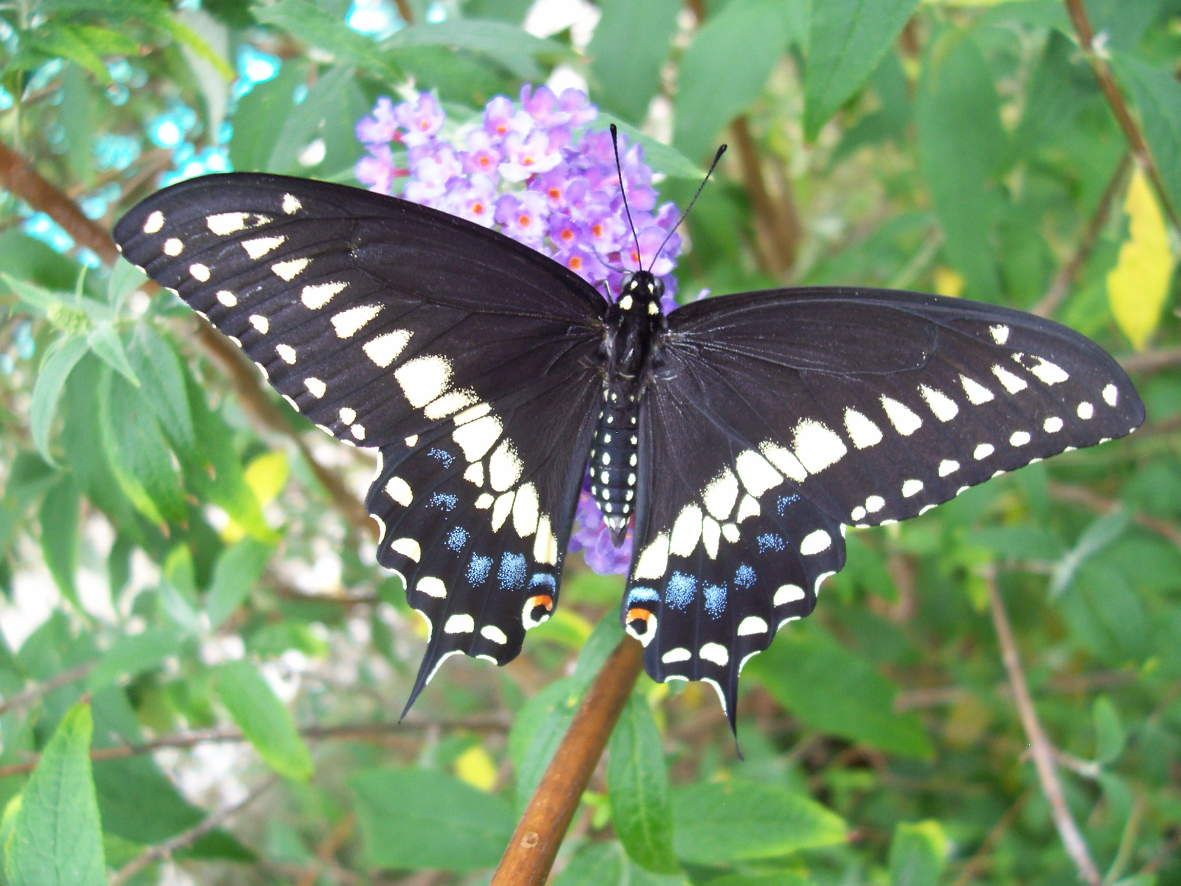 Papilio polyxenes - black swallowtail - black colored butterfly species