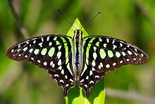 Graphium agamemnon - green tailed jay green colored butterfly species