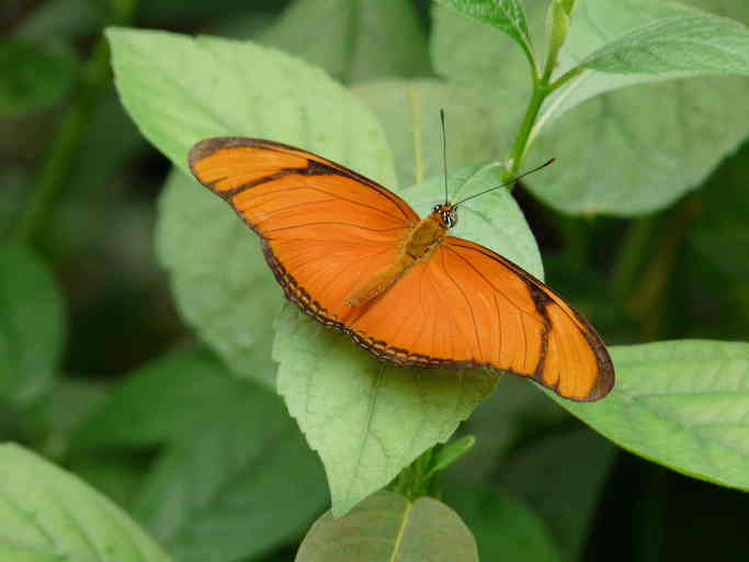 juliette - Eueides aliphera - orange colored butterfly species