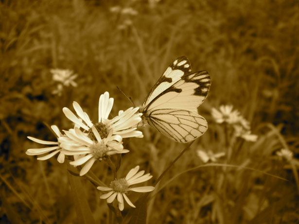 Sepia art White butterfly on flower