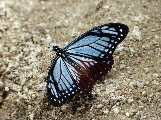 blue butterfly on ground