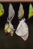 butterflies emerging out of chrysalis