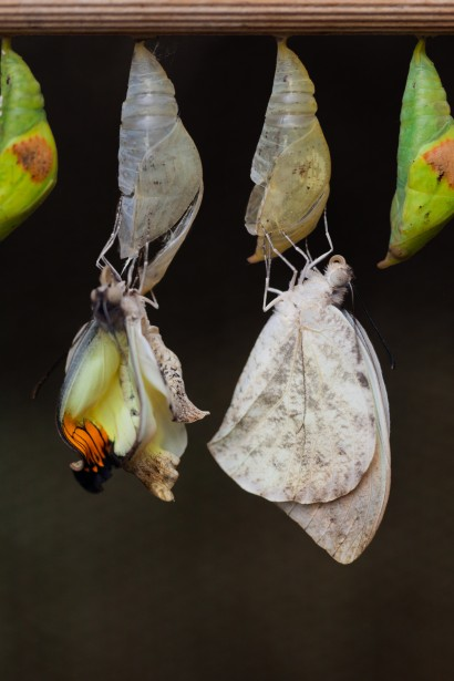 Butterflies emerging from cocoons