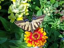 black and white striped butterfly on orange flower