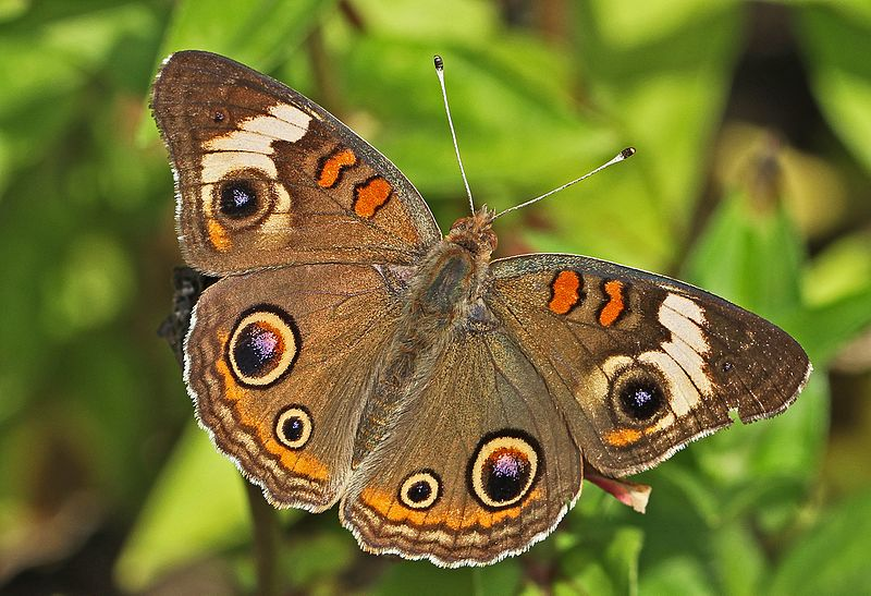 blomfilds beauty - Junonia coenia - brown colored butterfly species