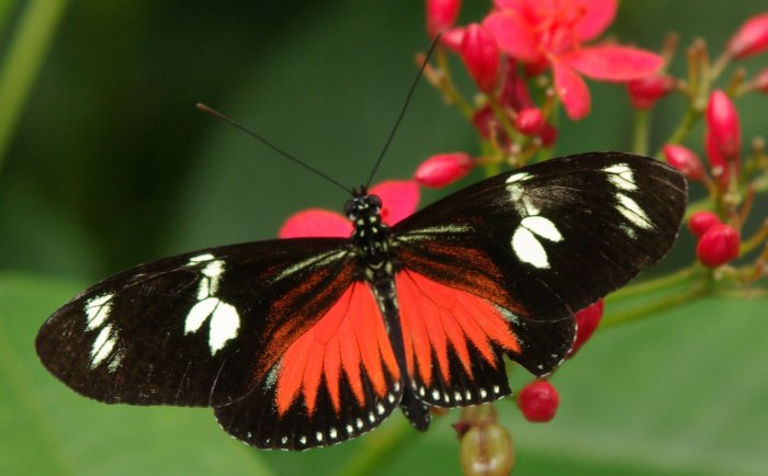 Doris Longwing - laparus doris - red colored butterfly species