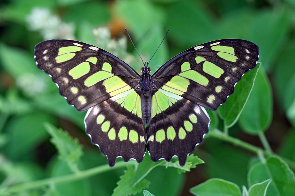 Siproeta stelenes - malachite - green colored butterfly species