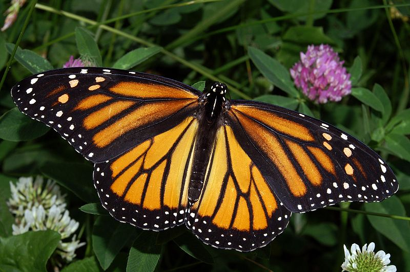 Monarch -  Danaus plexippus - orange colored butterfly species