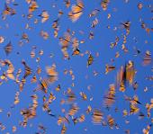 monarch butterflies in flight