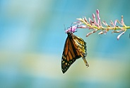 Monarch butterfly hanging from branch