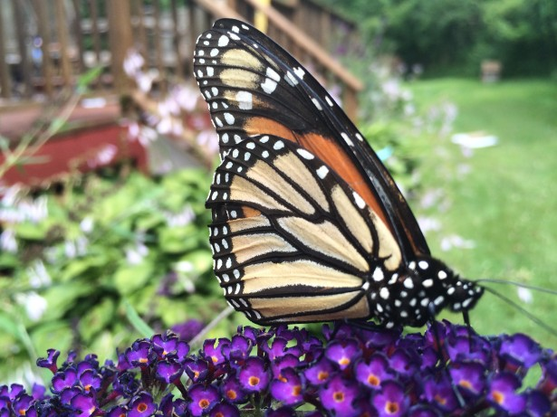 monarch butterfly on purple flowers in backyard garden