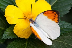 Little orange and white butterfly on yellow flower