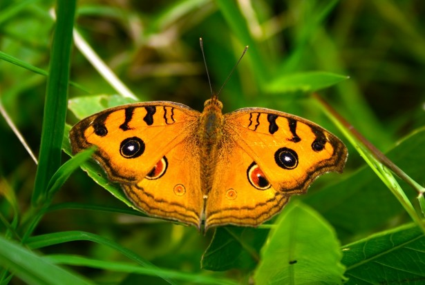 orange-colored moth butterfly