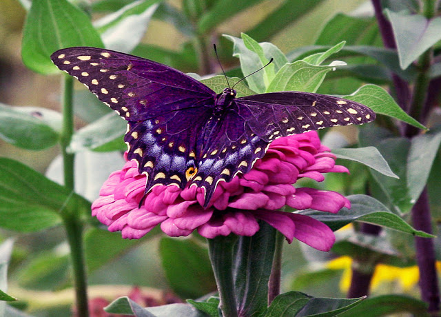 A purple butterfly symbol