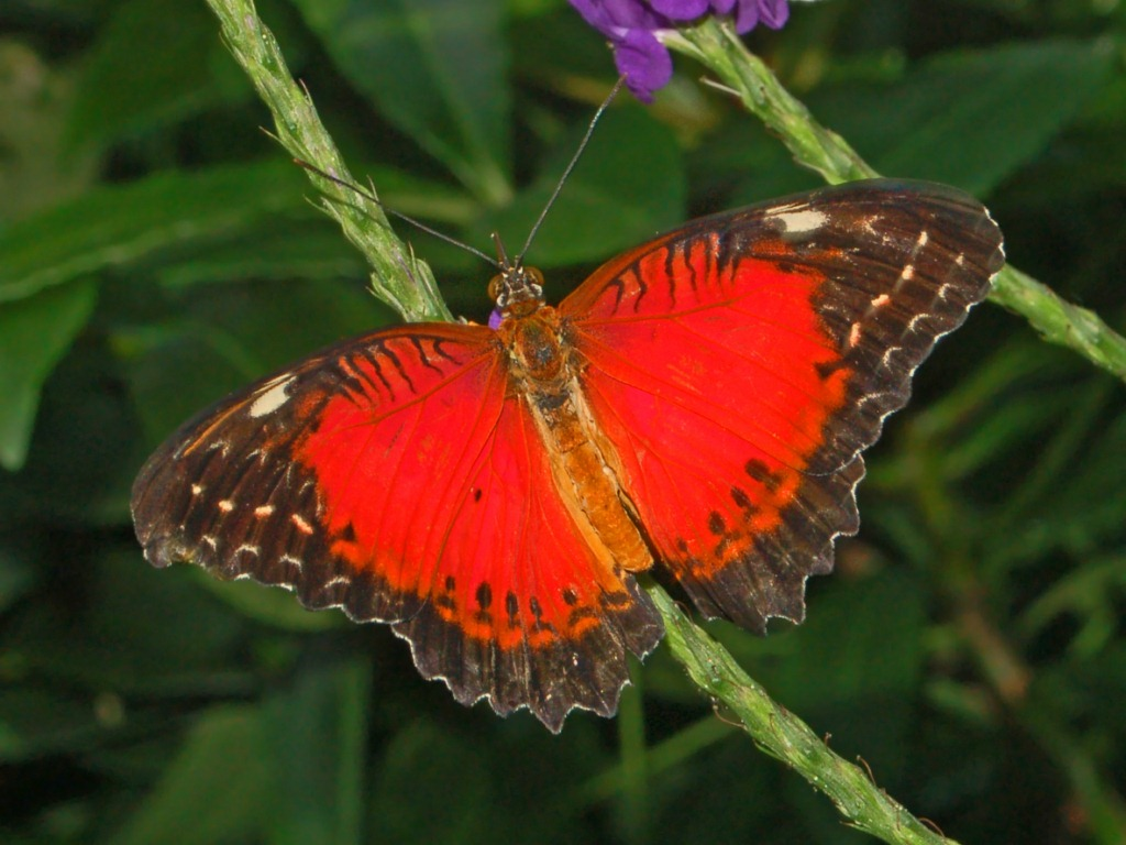 Red Lacewing - cethosia biblis - red colored butterfly species