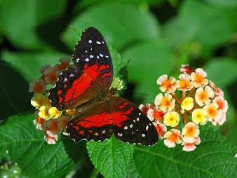 red coloured butterfly