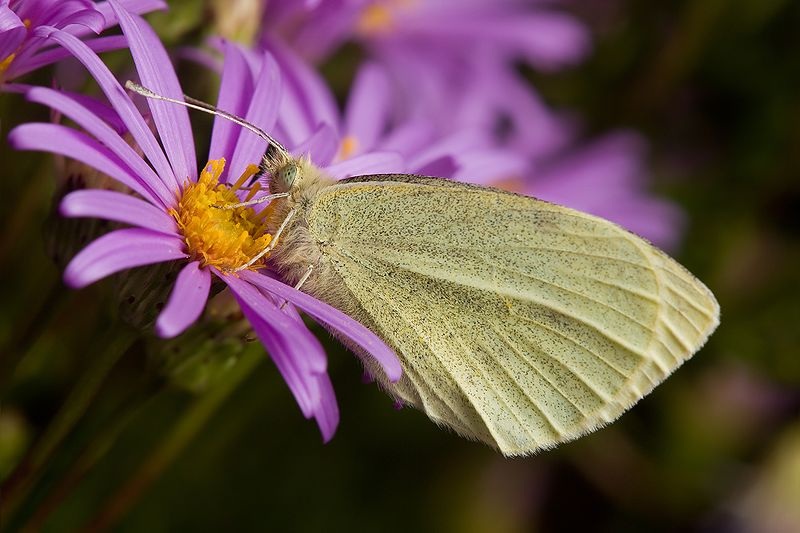 Pieris rapae - cabbage butterfly - white colored butterfly species