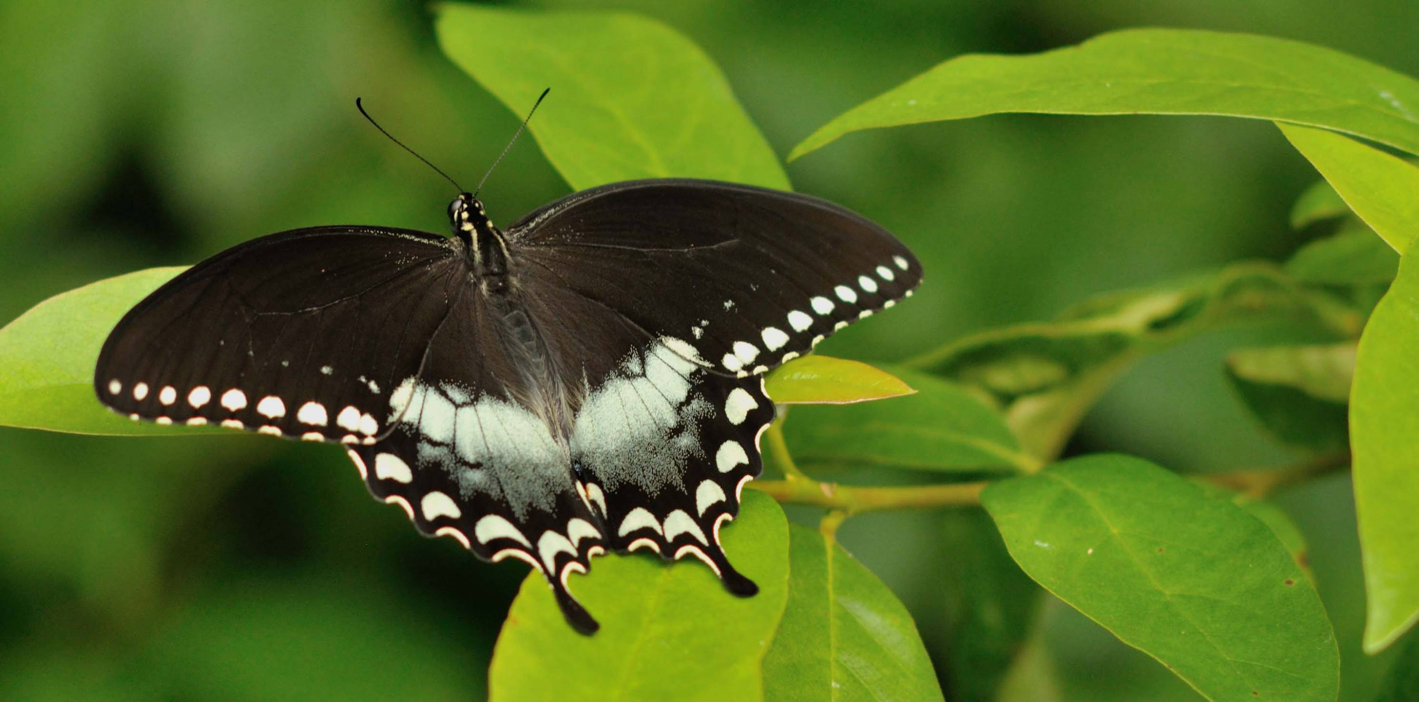 Spicebush Swallowtail - papilio troilus - black colored butterfly species