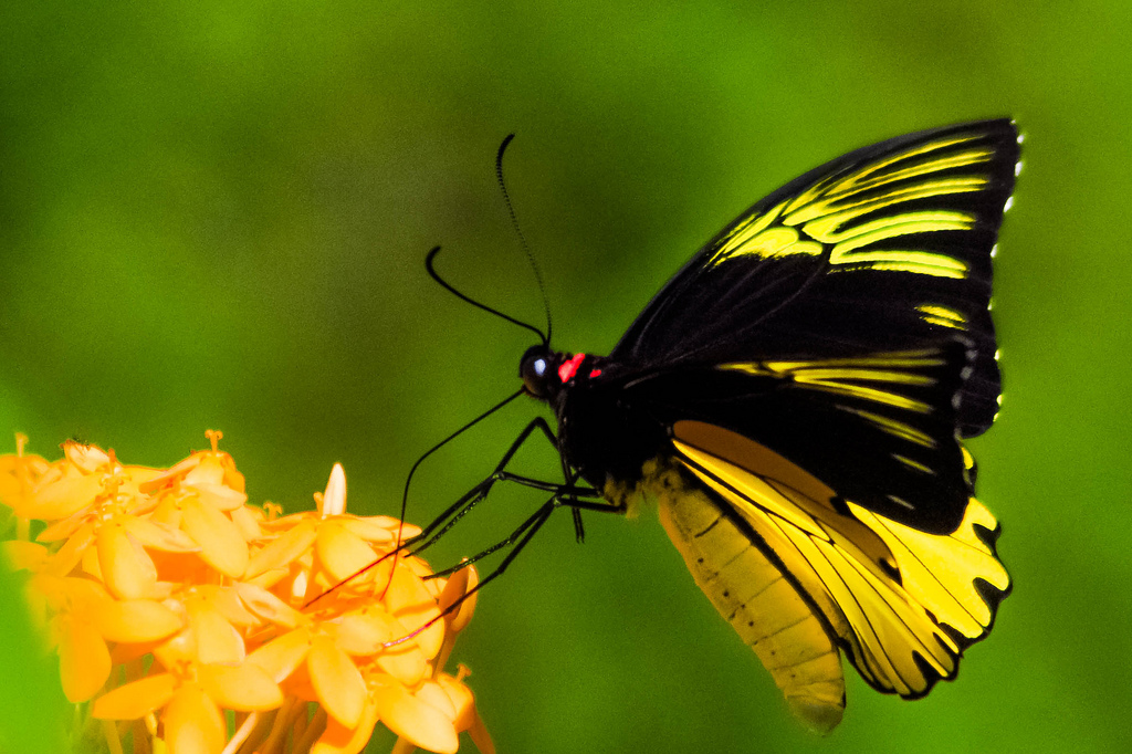 Common Birdwing Yellow Butterfly - Troides helena cerberus - yellow colored butterfly species