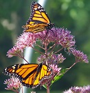 two monarch butterflies on pink flowers