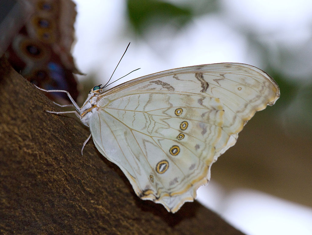 white morpho  -  Morpho polyphemus - white colored butterfly species