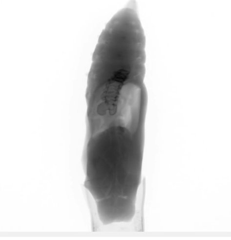 X ray scan of developing chrysalis image
