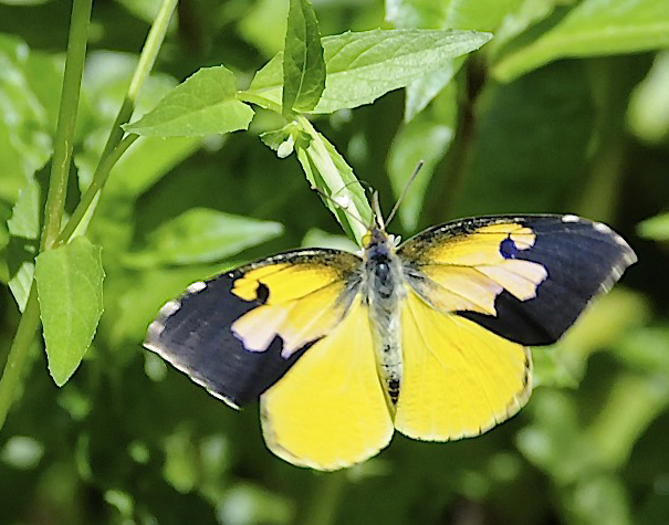 California DogFace - Zerene eurydice - yellow colored butterfly species