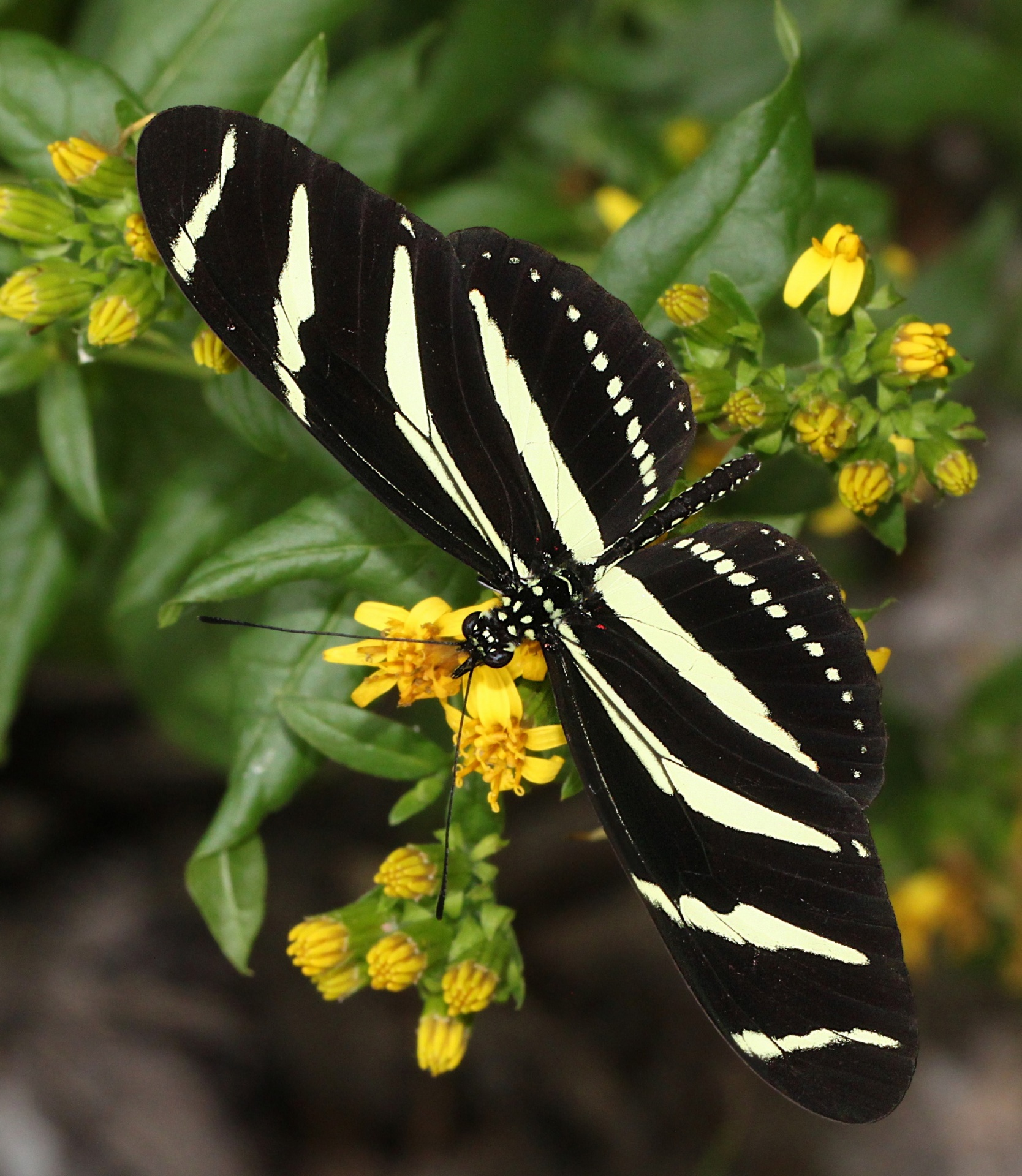 Heliconius charithonia -zebra longwing - black colored butterfly species